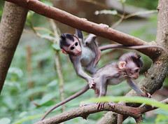 Babymonkeys | by loepie