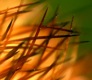 Cactus needles | by kevin dooley