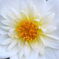 Dreamy White Dahlia | by Bluebird0927 (ON/OFF)