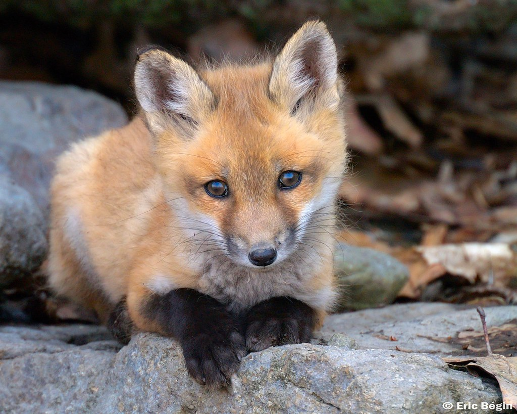 Red fox pup ( wild ) | 3 of 16 I went hicking today along ...
