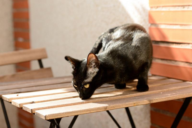 Selva, gatita Pantera guapa, estilizada y divertida esterilizada, nacida en Mayo´16, en adopción. Valencia. ADOPTADA. 32605814630_f28008664d_b