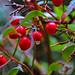 Berries, HDR