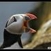 puffin ◆ macareux ◆ lundi