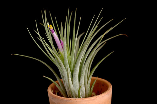 Tillandsia scaposa (kolbii) | by brushwood09