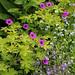 Geranium 'Ann Folkard' & Myosotis palustris