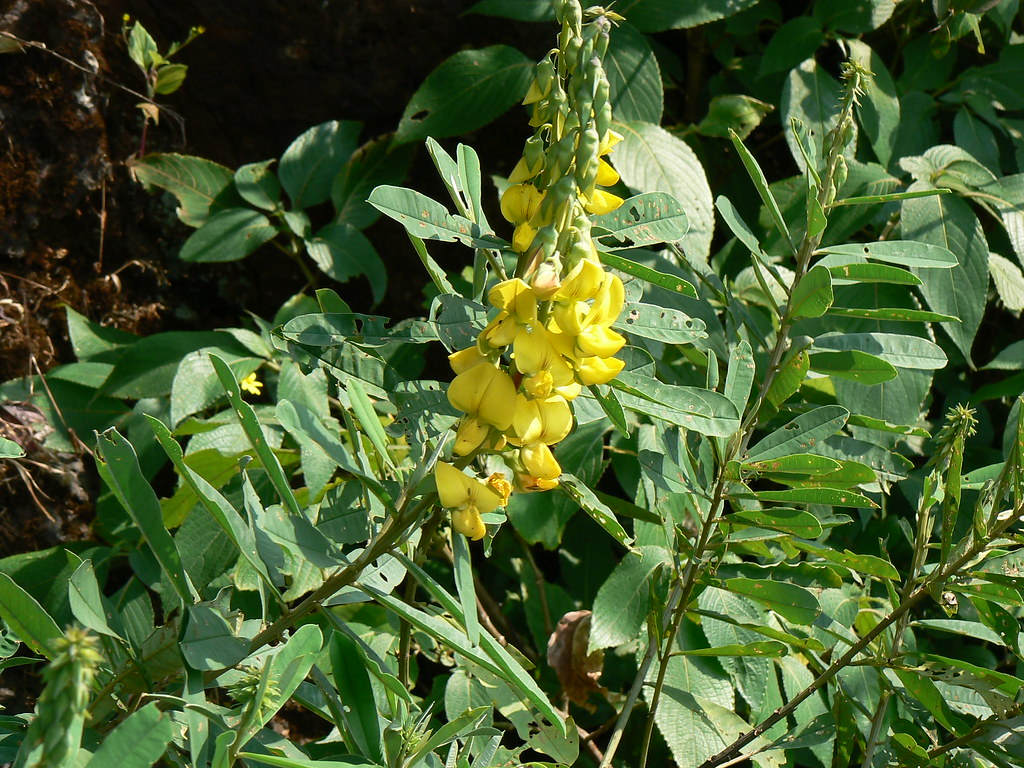 Greater Rattlepod Fabaceae Pea Or Legume Family
