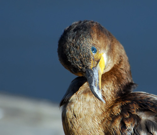 Cormorant Checking Me Checking Him or Her | by ozoni11
