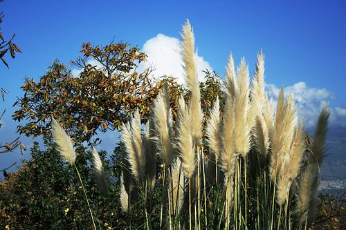 Erba della pampa dal giardino montagna di calice for Erba della pampas riproduzione