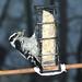 ~Downey Woodpecker~