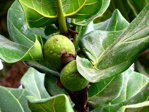 Ficus lyrata. Fiddle-leaf fig. | Tenerife. Las Galletas