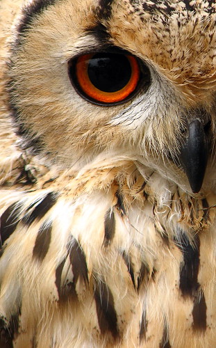 indian eagle owl | by woolybackviks