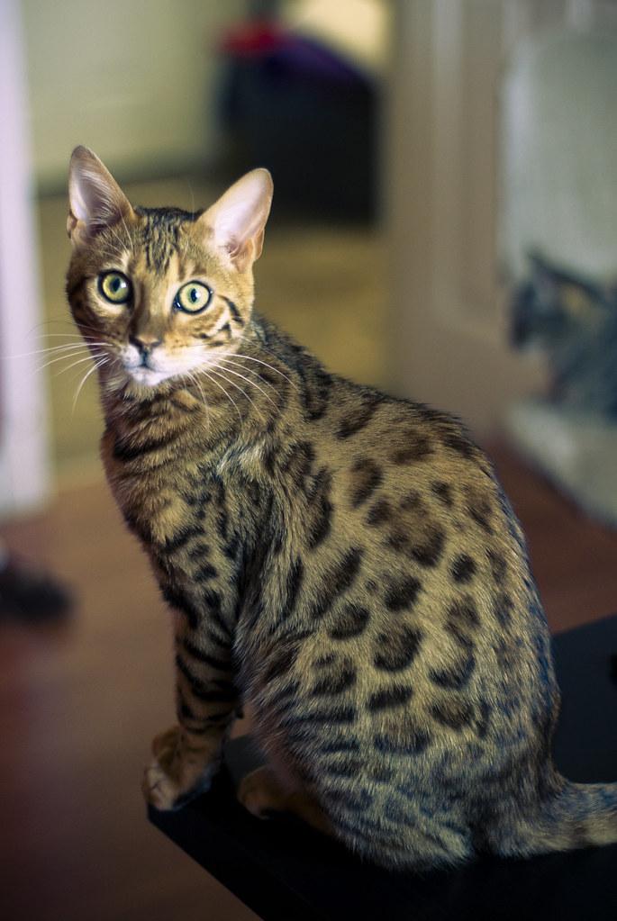 bengal cat coat