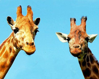 Two giraffe | by @Doug88888