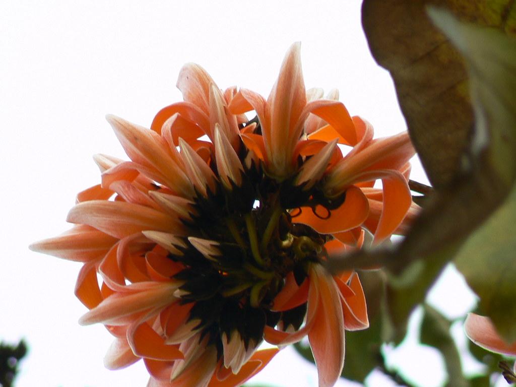 Palasha (Sanskrit: पलाश) | Palash (Hindi: पलाश) is the ... Palash Flower In Hindi