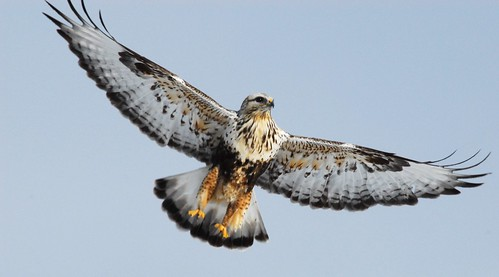 rough-legged hawk 1 | by brodmann's 17