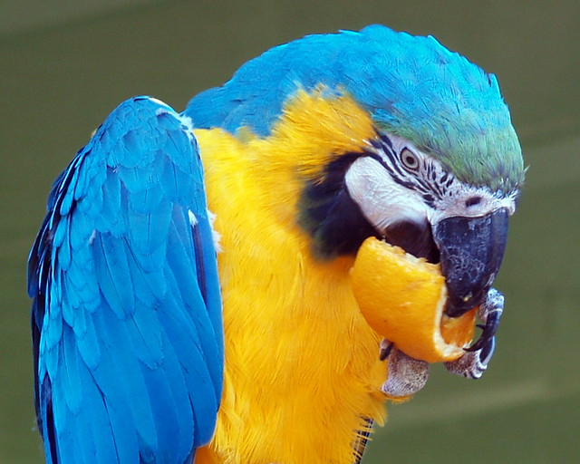 Blue And Yellow Macaw One Of The Two Blue And Yellow