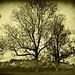 416 Old Tree