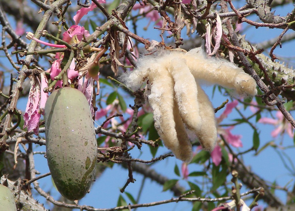 Silk floss tree fruit before and after opening this is th flickr silk floss tree fruit before and after opening by martin labar mightylinksfo
