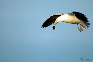 Kelp Gull | by Sprigo (Not Around Much Lately)