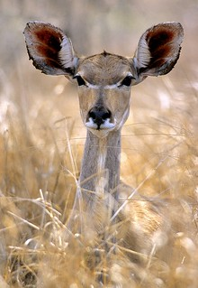 South Africa, greater kudu in high grass | by Vittorio Ricci (thanks +++ 3.2 millions views)