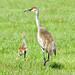 Sandhill Crane Adult with Colt