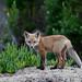 Red Fox Pup Morro Bay, CA 28 May 2008