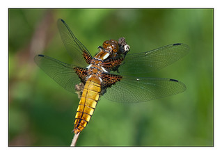 Broad-bodied chaser | by Mister Oy
