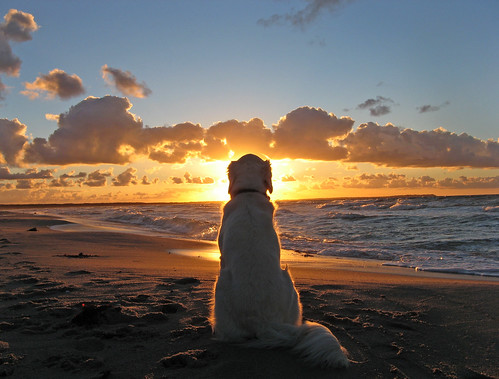 My golden enjoys a beautiful sunset | by Ingrid0804