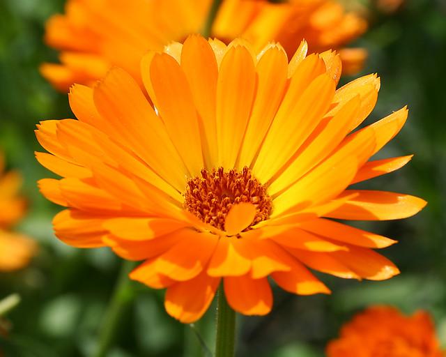 Orange Blume  Orange Blume  Josef Sauerland  Flickr