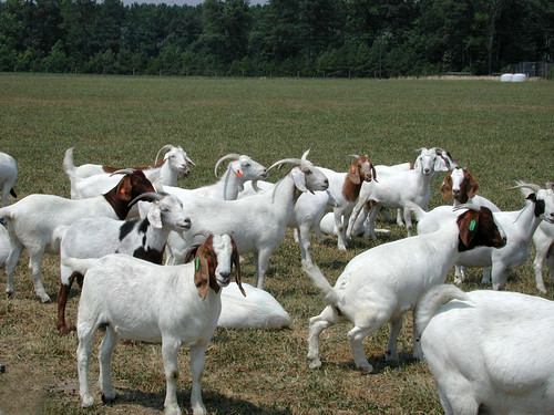 Meat goat herd at UMES | by baalands
