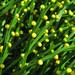 psilotum nudum, atlanta botanical garden, altanta, fulton county, georgia 2