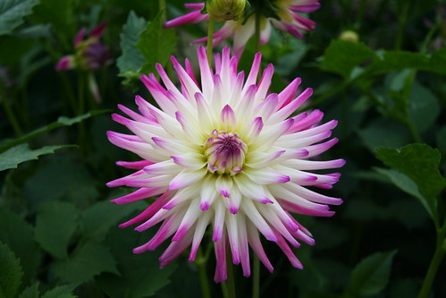 Dahlia, Chatsworth House gardens | by Theresa Elvin