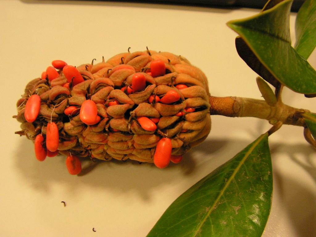 fruto y semillas de magnolia el fruto que envuelve la