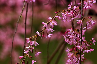 Cherry Blossoms | by Ann Althouse