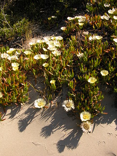 Colonizing the beach - yellow ice plant | by Jason-Morrison