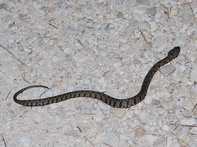 Adult eastern diamondback rattlesnakes do not have any natural predators but young rattlesnakes have many including hogs gray foxes redtailed hawks and kingsnakes as well as other carnivorous mammals raptors and snakes