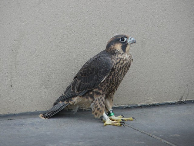 Peregrine Falcon Of 55 Water Street Animal Rescue By The