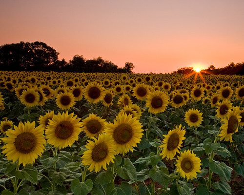 Sunflower Sunset | by macmoov