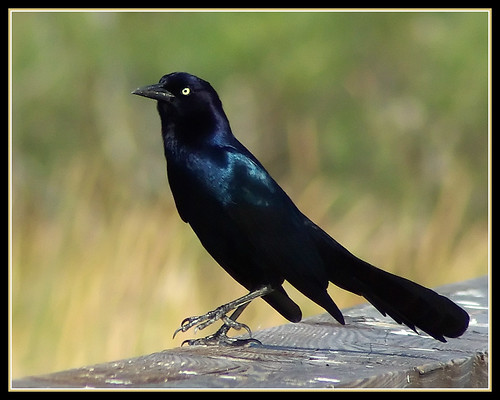 Boat-tailed Grackle | by byard