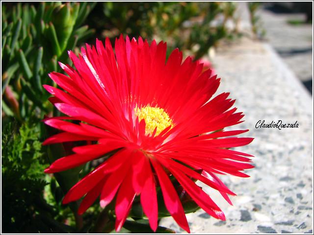 Rayito de sol lampranthus son plantas originarias de - Plantas exterior mucho sol ...