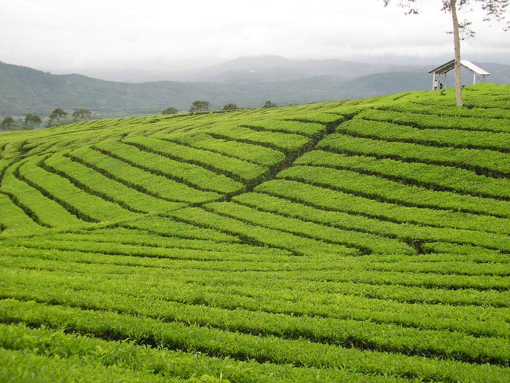 pc230345 tea plantation surrounding dempo mountain south flickr