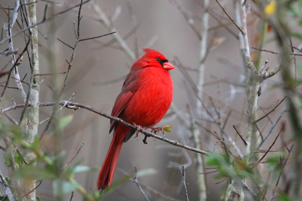 NORTHERN CARDINAL - Thanks for your comments and views