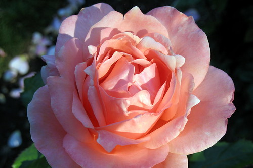 Rose in Portland Rose Garden, 2007 | by Bunny8907