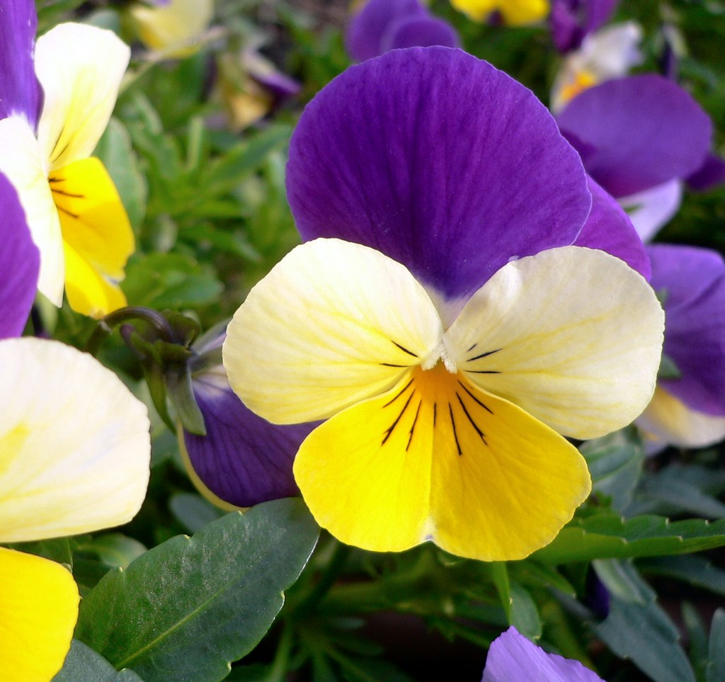 elegant pansy  the pansy or pansy violets are a large group…  flickr, Natural flower