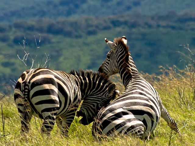 Two zebras playing in the Ngorongoro Crater, Tanzania