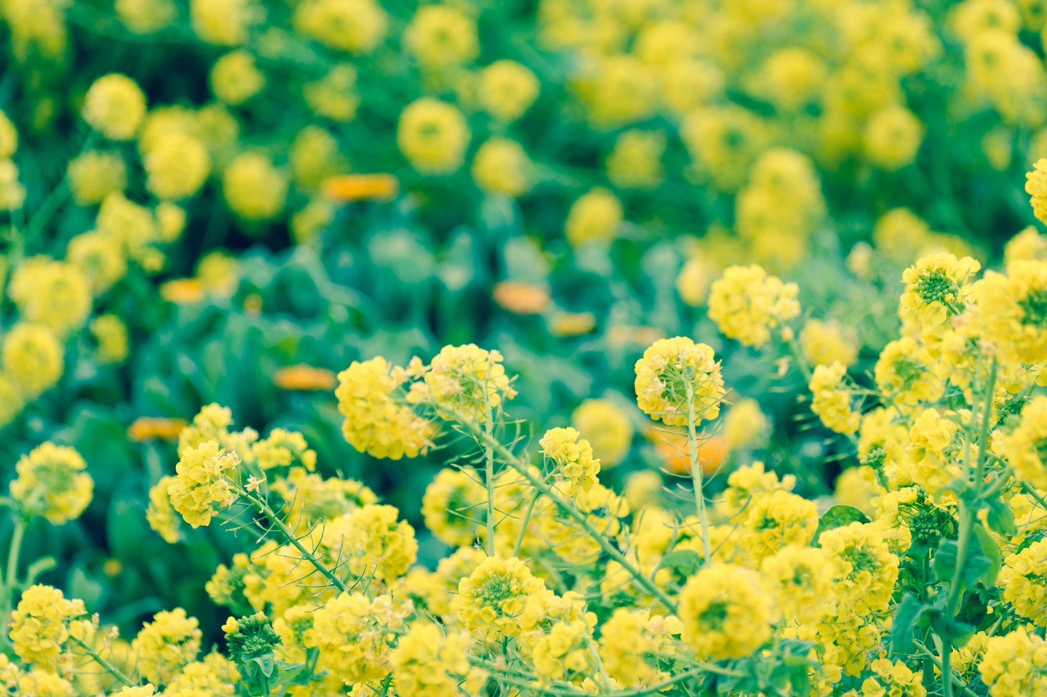 早咲き菜の花畑