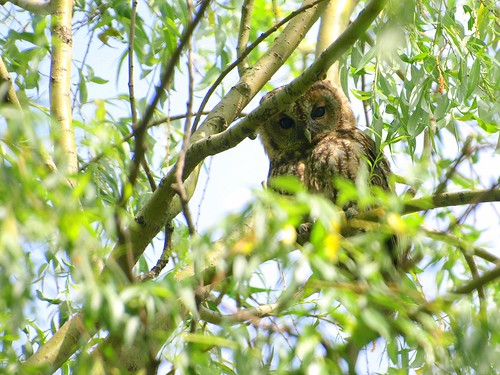 Tawny Owl | by Marrrcelll