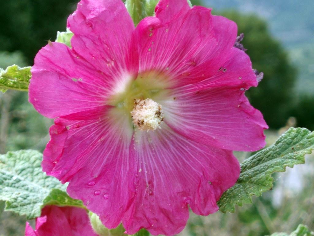 Malva real malvarrosa altea althaea rosea mantis xxl for Malvarrosa planta