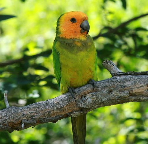 R G Parrott Ltd Young Parrot   This cu...