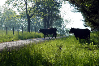 German Valley WV - Cows in the road. | by D.Clow - Maryland